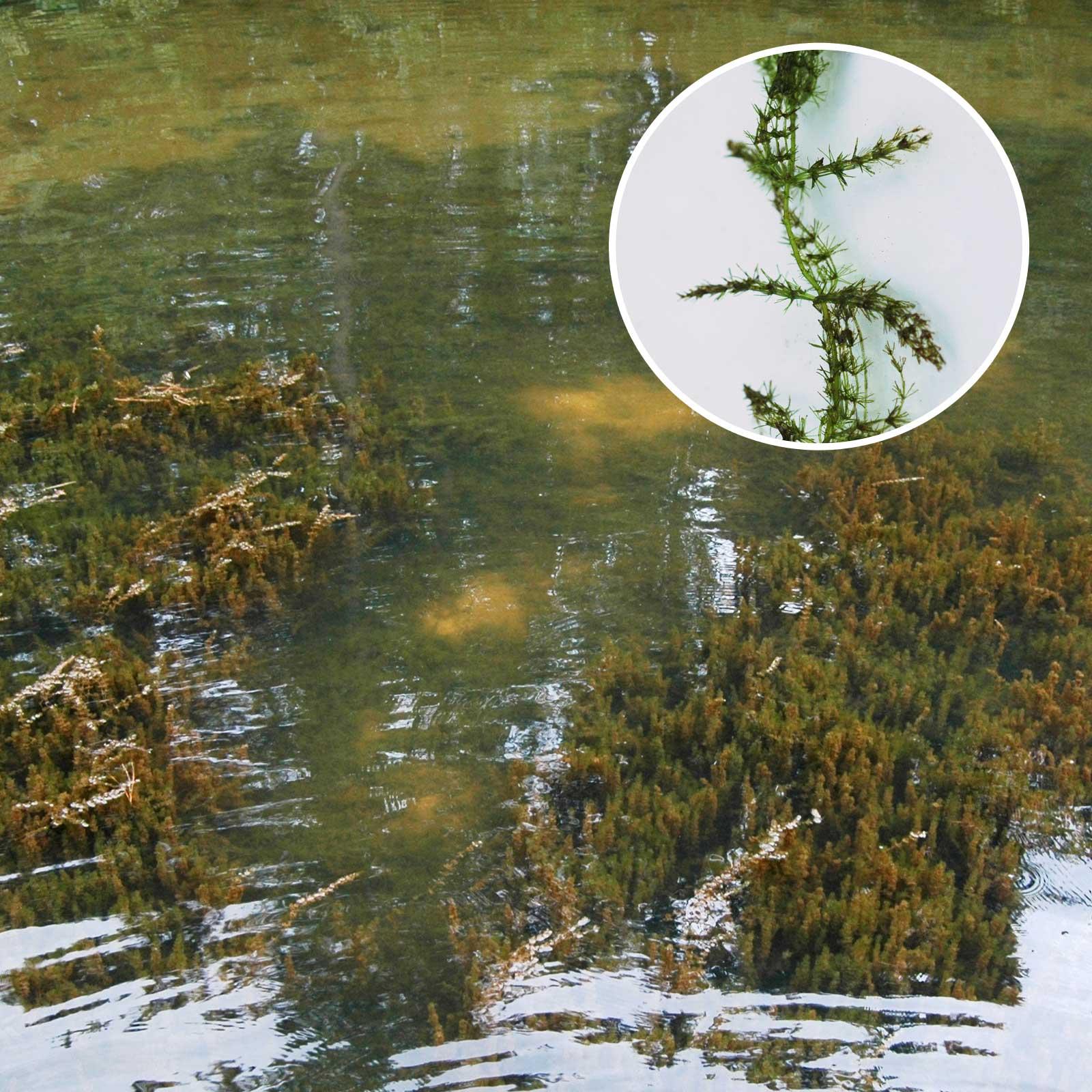 Chara Submerged Pond Algae