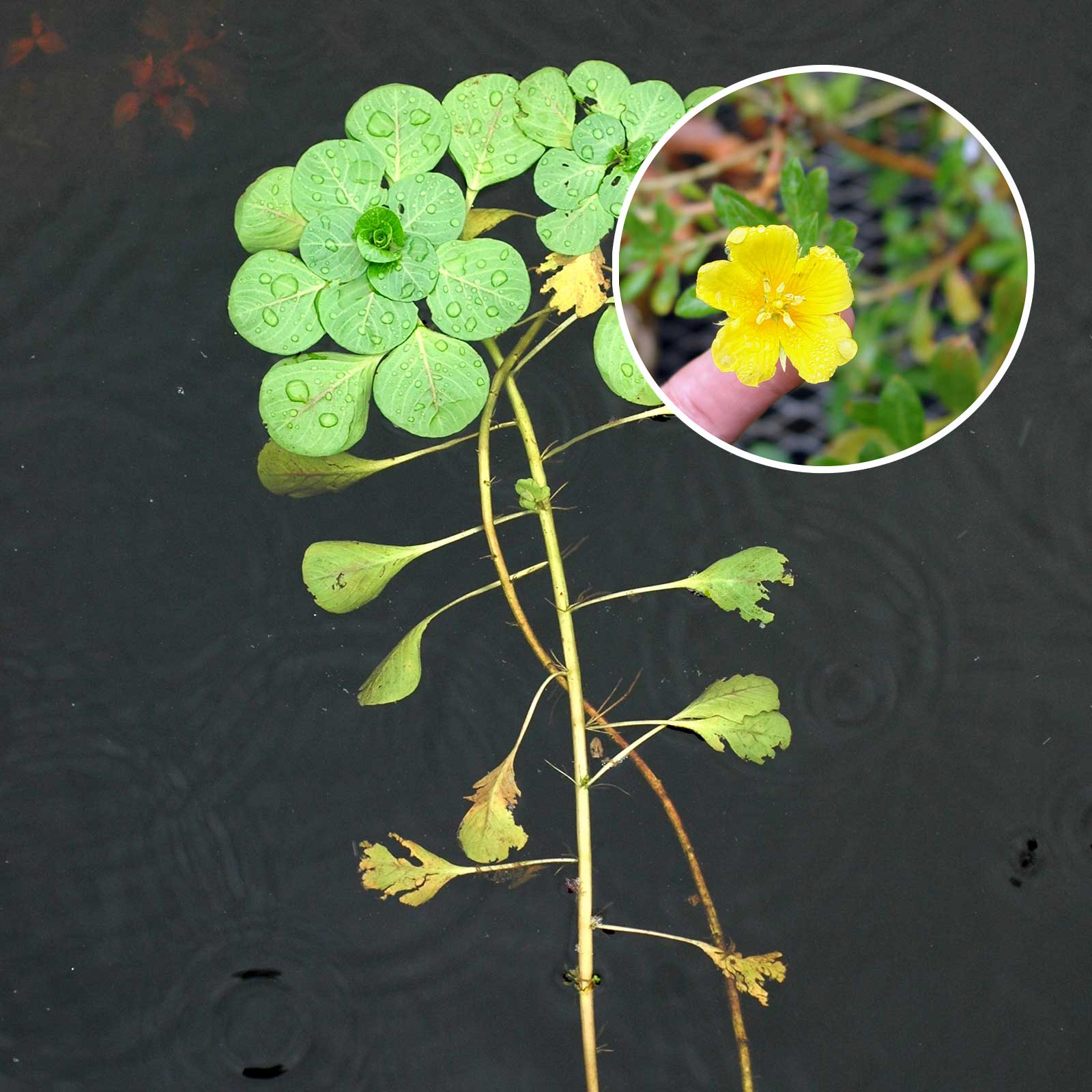 Creeping Water Primrose Pond and Lake Vegetaton