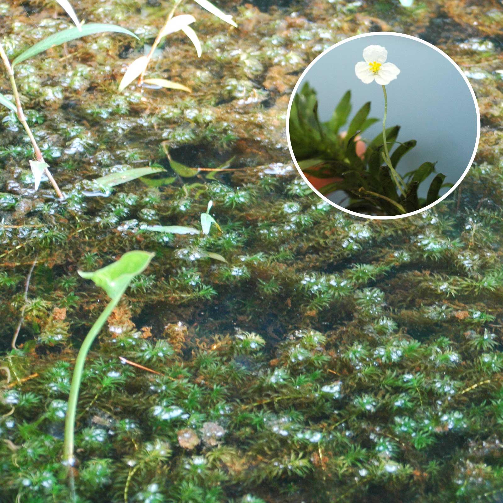 Egeria aquatic vegetation