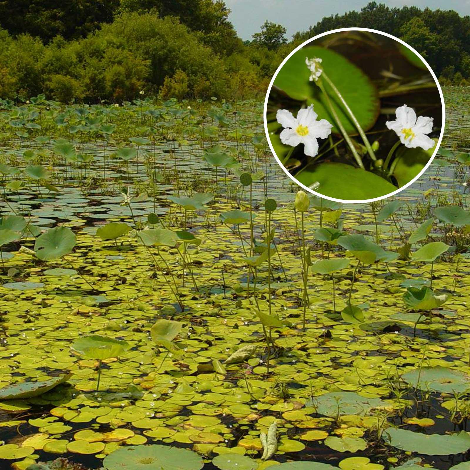 Floating Hearts Aquatic Vegetation