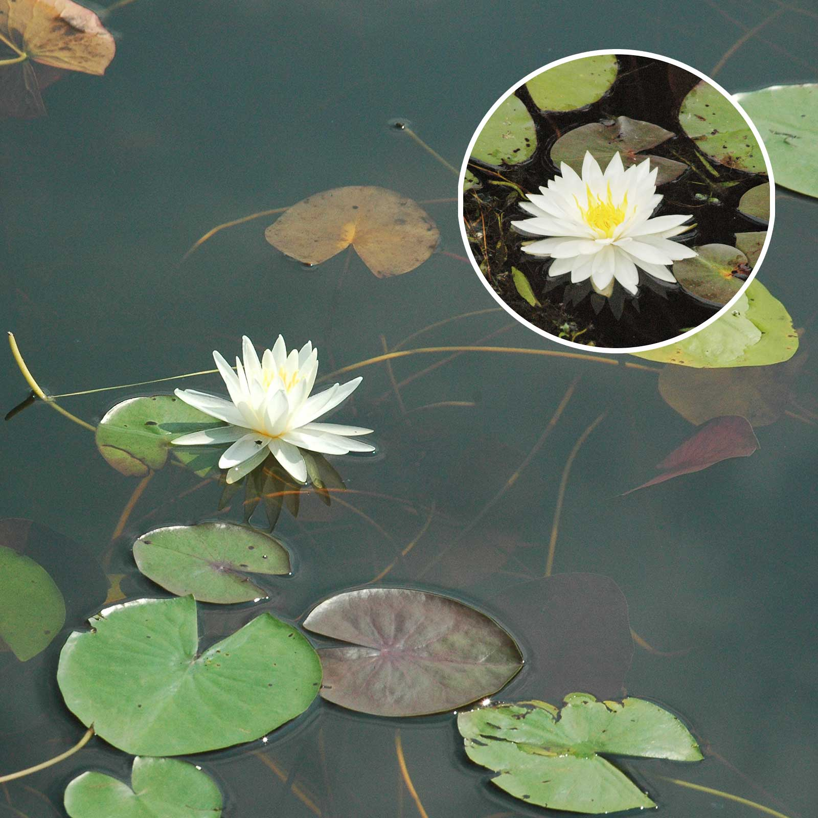 Fragrant Water Lily Water Vegetation
