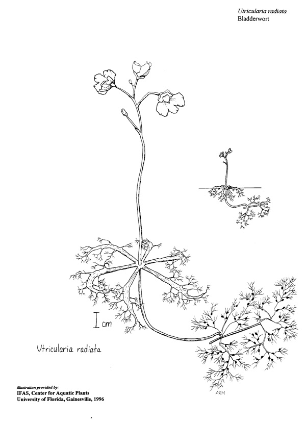 Bladderwort Aquatic Vegetation