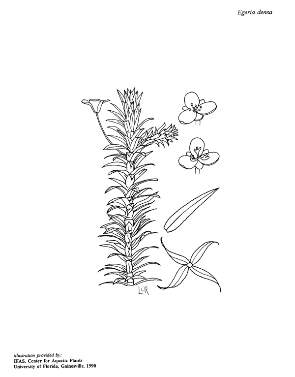 Egeria water vegetation