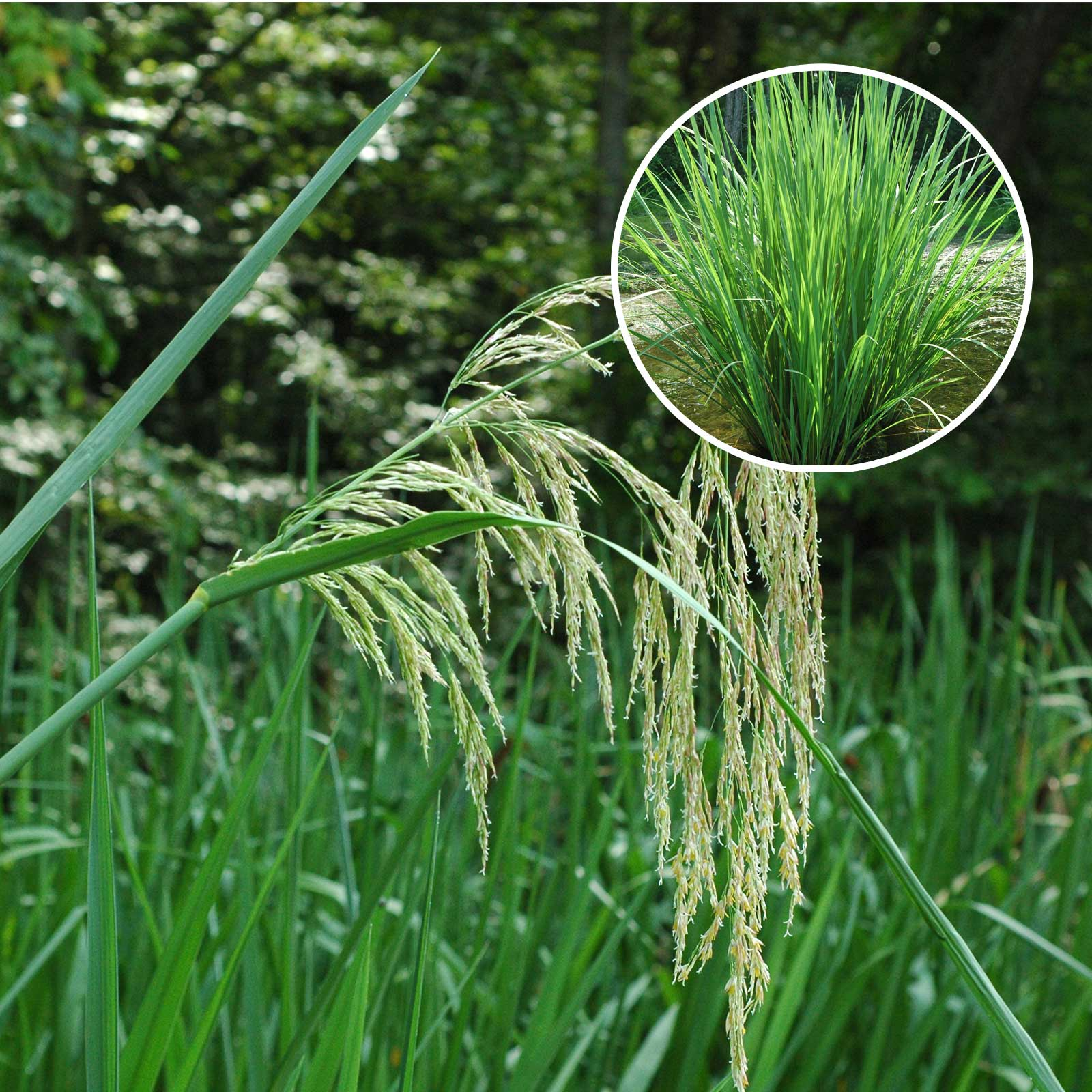 Giant Cutgrass weeds in North Carolina
