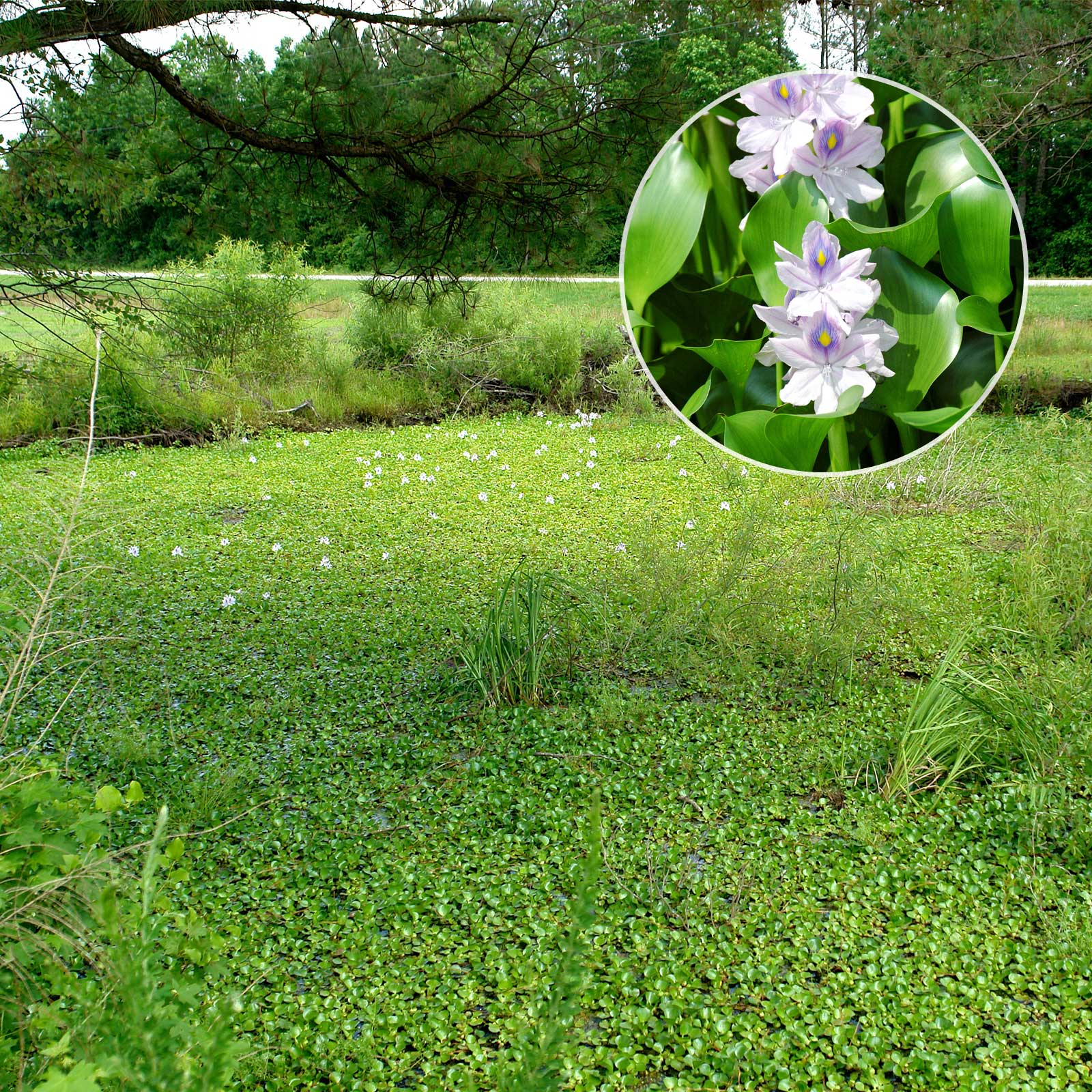 Water Hyanchith aquatic vegetation treatment by Pond Lake Management