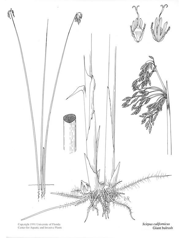 Bullrush Pond grass