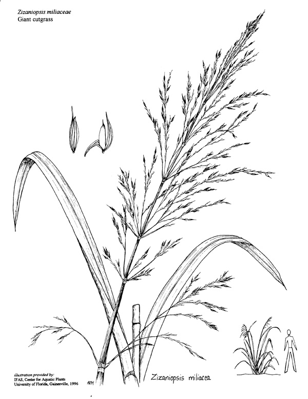 Giant Cutgrass identification