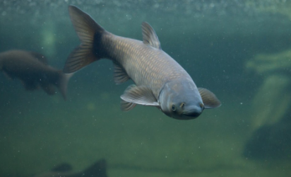 Fish Pond Maintenance and Green Carp